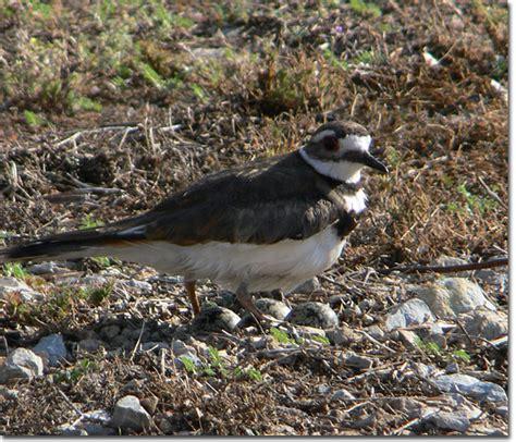 backyard bird cam killdeer nest