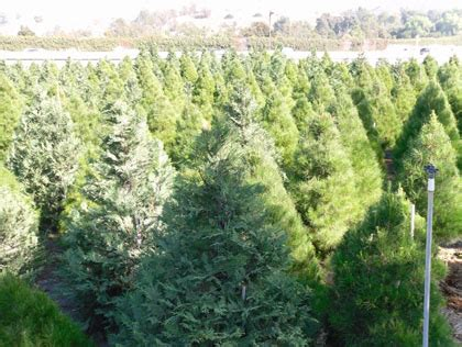 best places to cut your own christmas tree in the oc area