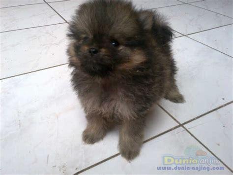 Pom Pom Warna Cur 15mm dunia anjing jual anjing pomeranian jual pomeranian coklat murah