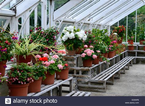 begonia pots containers conservatory glasshouse greenhouse