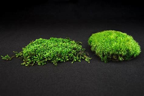 great information about how to transplant grow and care for moss also information about the