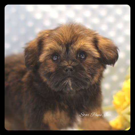 pugs for sale richmond va what mix is brindle yorkie breeds picture