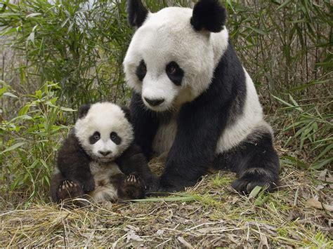 Panda With and baby panda animals ii pandas