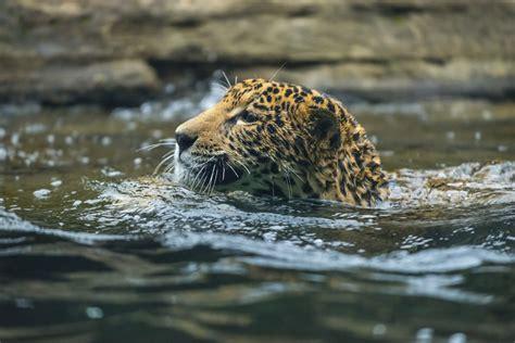 imagenes jaguar you 17 things you should never ever name your pet jaguar