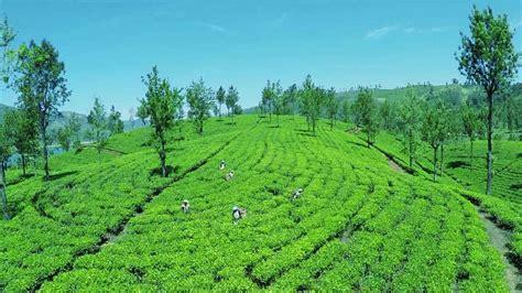 Ceylon Srilanka ceylon tea venture tea pvt ltd tea exporter