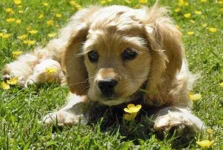 king charles spaniel golden retriever mix 24 best images about ideal on cocker spaniel and