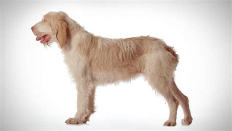 Dogs Wallpaper by Spinone Italiano Dog Breed Selector Animal Planet