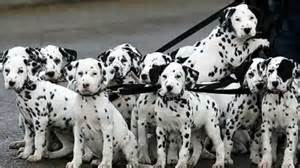 10 amazing facts dalmatian dogs dalmatian puppies