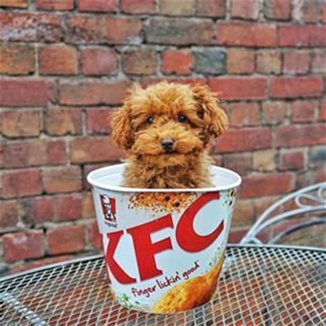 puppies or fried chicken 63 best images about s best friend on