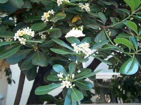 pitosforo in vaso pitosforo piante da giardino pitosforo per il giardino
