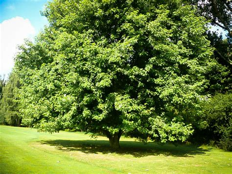 2 maple tree silver maple tree for sale the tree center