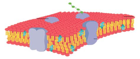 cross section of cell membrane anatomy of the cell scientist cindy