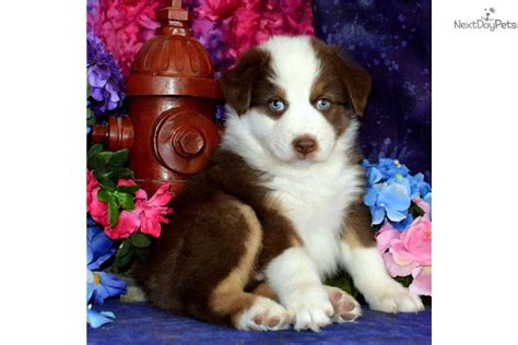puppies for sale in albuquerque litter on the way australian shepherd puppy for sale near albuquerque new mexico