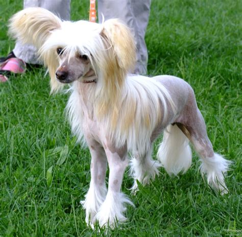 crested puppies crested breed guide learn about the crested