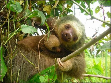 tree and baby 25 best ideas about two toed sloth on baby