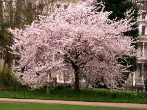 Japanese Blossom Tree blackpinky i want to be japanese cherry blossom tree