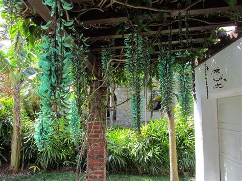 Tanaman Jade Vine tog of coral gables dailyphoto jade vine strongylodon