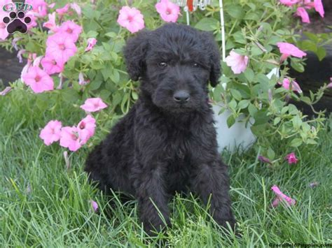airedoodle puppies airedoodle puppies for sale in pa greenfield puppies