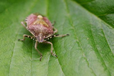 käfer in der wohnung bestimmen k 252 che kleine braune k 228 fer k 252 che kleine braune kleine