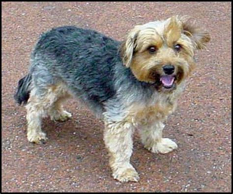how to groom a yorkie puppy cut to groom a yorkie trim the terrier traditional cut grooming breeds picture