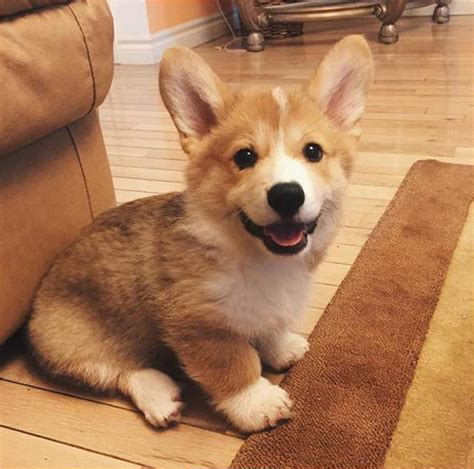 how much is a corgi puppy these 14 corgis will solve all of your problems