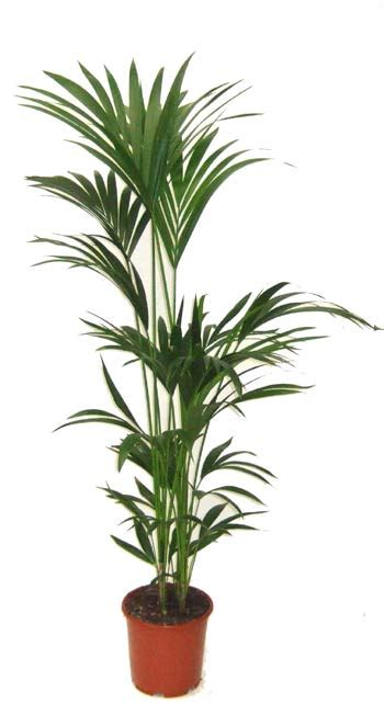 Buy Office Plants Online Great House Plants Delivered Ready Planted In Lechuza