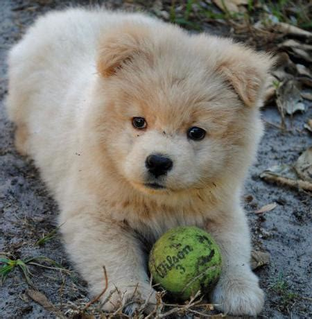 akita golden retriever mix kamikaze the akita mix puppies daily puppy breeds picture