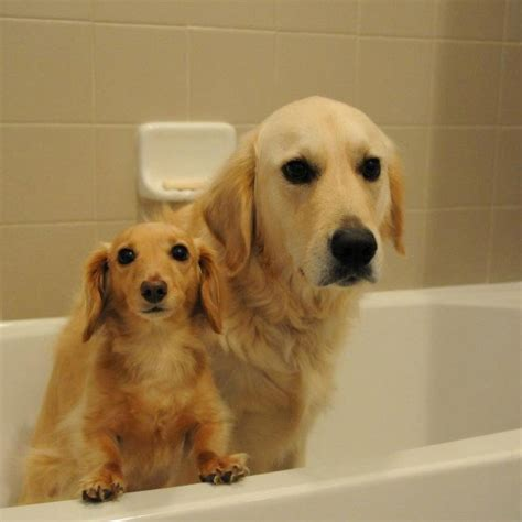 golden retriever weiner also want these guys dachshund and golden retriever dogs we