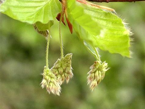 fiori maschili faggio fagus forum giardinaggio