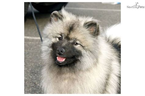 keeshond puppies for sale akc keeshond puppies for sale in paducah kentucky hoobly breeds picture