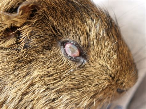 eye crust our guinea pig karl s right eye has a crust it that looks like it might be his
