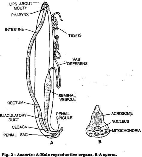 labelled diagram of ascaris zoo 2012 study guide 2011 12 cotner instructor cotner