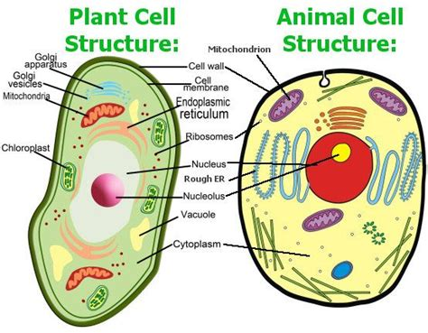 up letter between plant and animal cell animal cell model diagram project parts structure labeled