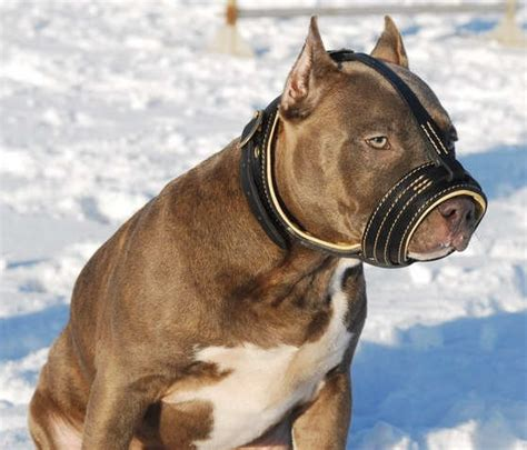 muzzle for pitbull muzzles leather muzzles wire muzzles basket muzzle muzzle stress