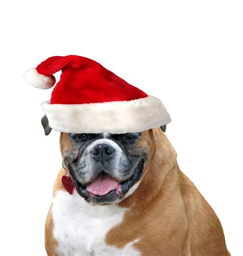 christmas dog santa hat free stock photo public domain