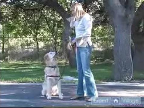 how to your golden retriever how to a golden retriever how to teach your golden retriever their name