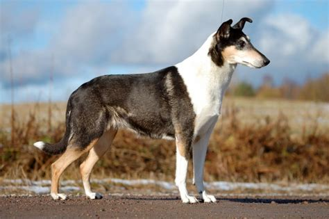 collie breed saved by dogs kinds of collies big or something for most everyone