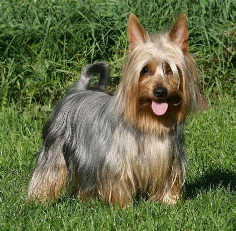 silky puppies silky terrier puppies rescue pictures information temperament characteristics