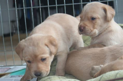 fox lab puppies for sale in pa labrador fox puppies for sale images