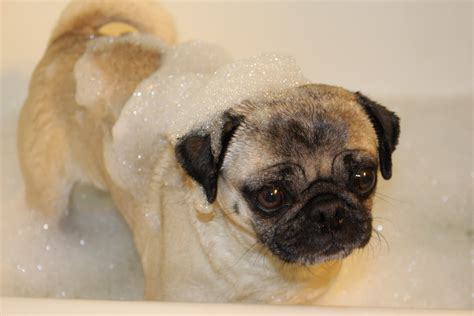 pug bathtub rub a dub dub pug in a tub about pug