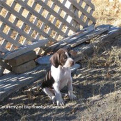 braque francais puppies sale braque francais puppies for sale