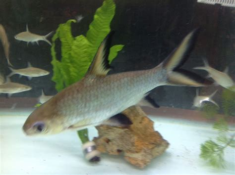 water fish tropical and cold water fish for sale liverpool merseyside pets4homes