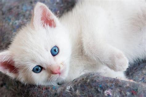 beautiful white kitten  blue eyes hd wallpaper
