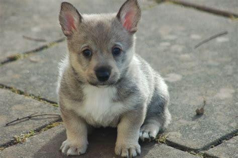 wolf corgi puppy corgi x wolf swedish vallhund for the of animals