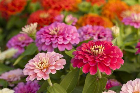 zinnia fiore how to grow zinnias a burst of flower colors