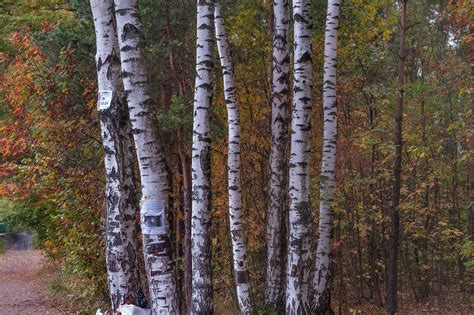 birch tree rubber st photo 758 22 birch trees in sosnovka park st petersburg