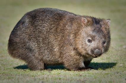 imagenes de animal wombat wildtier lexikon wombat ein herz f 220 r tiere magazin