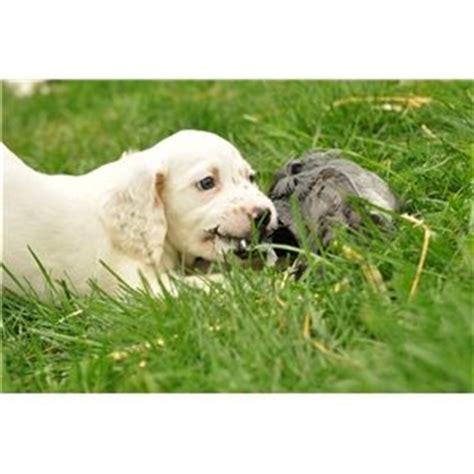 english setter grouse dogs for sale fsb english setter pups stillmeadows jim grouse ridge