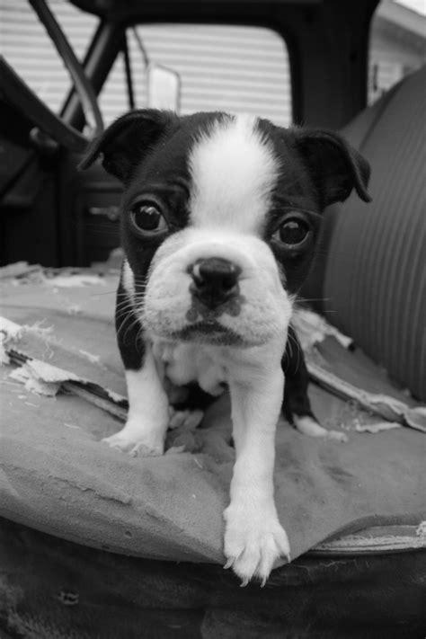 boston terrier puppy the five week boston terrier puppy will melt your ibostonterrier