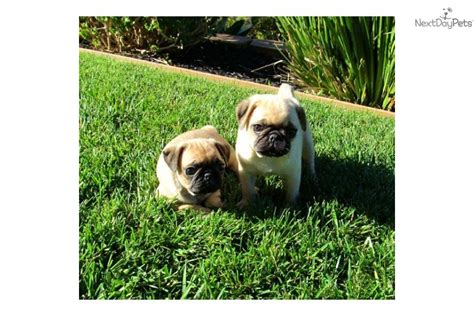 pug puppies los angeles pug puppy for sale near san diego california 8286f523 3b21